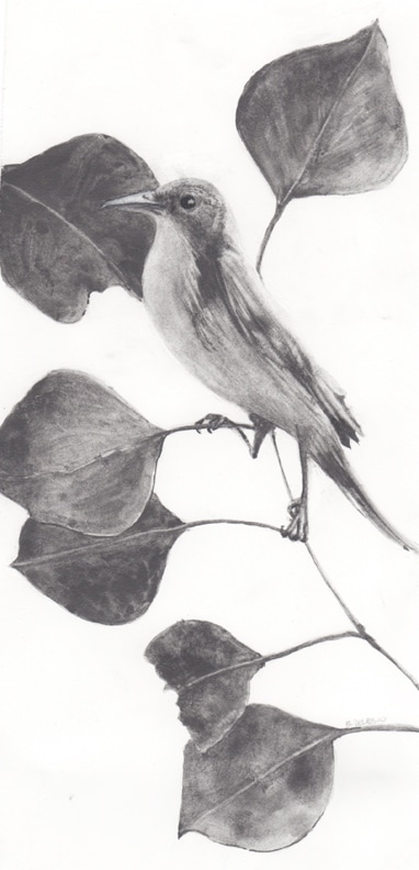 water-soluble-graphite-painting of a bird in eucalyptus branches
