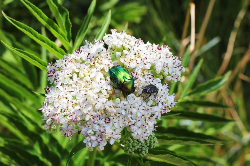 Queen An's Lace with a Green Rose Chafer