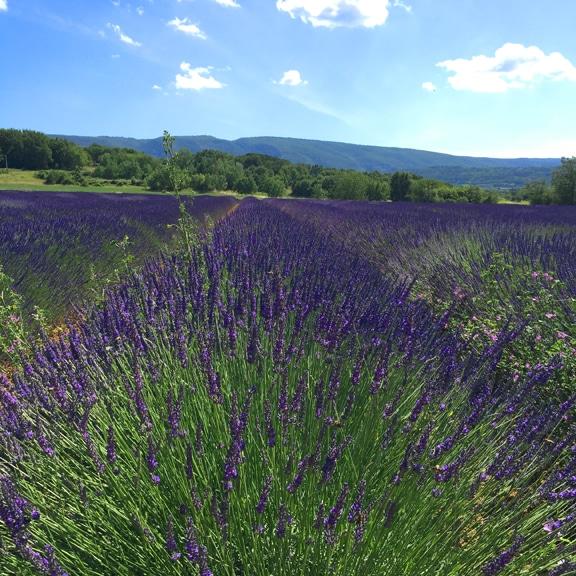 lavenderfieldsnearbonnieux