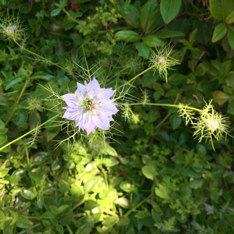 dill-flower