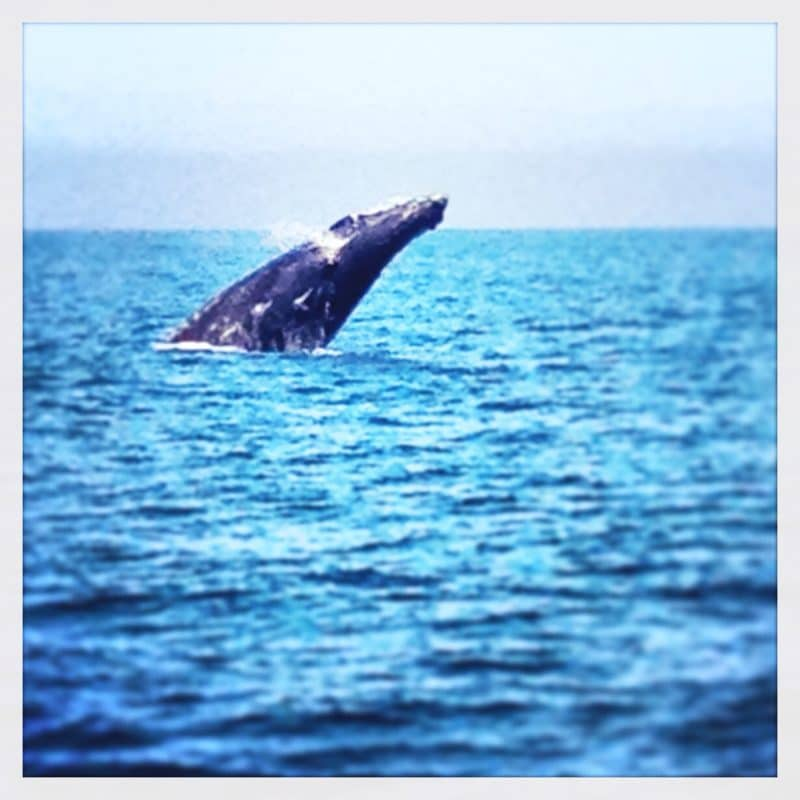 a humpback whale breaching off the california coast