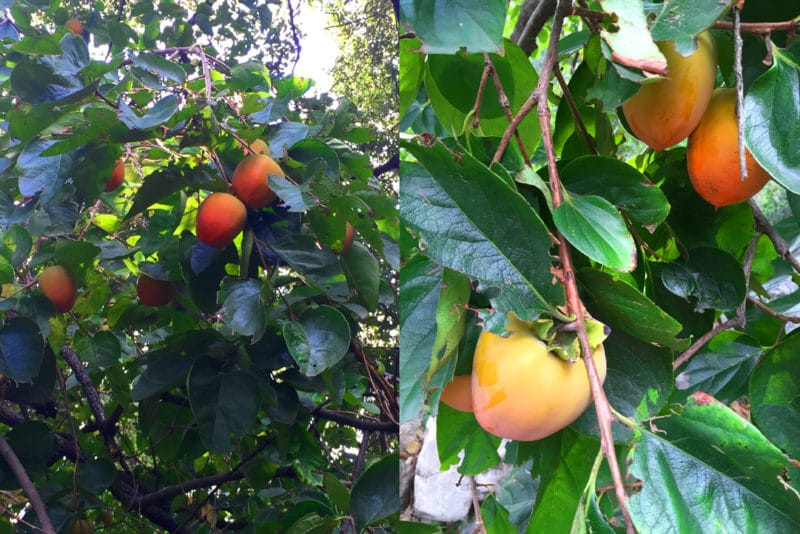 a close up photos of braches of a persimmon tree with ripe orbs of bright ornage fruit next to a more distant image of the same tree, dotted with fruits among the broad, dark leaves.
