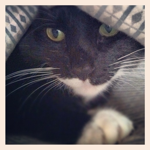 a tuxedo cat sheltering in place during the covid19 pandemic