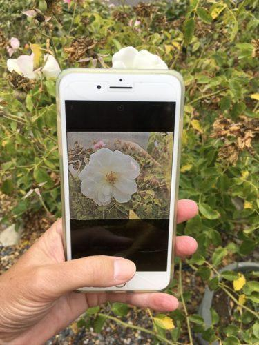 an iphone camera viewfinder locating a single rose in a messy hedge